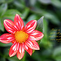 Dahlia And Proverbs Verse by David Arment
