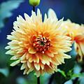 Dahlia Beauty by Cynthia Guinn