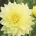 Dahlia Blossom Yellow by Ck