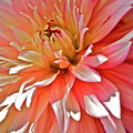 Dahlia Blush by Linda Bianic