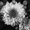 Dahlia Burst B/w by Ronda Ryan