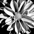 Dahlia Close Up - B And W by Arlane Crump