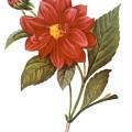 Dahlia (dahlia Pinnata) by Granger