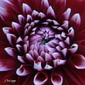 Dahlia Deep Maroon And While V1 by Janet DeLapp