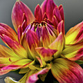 Dahlia Flame by Joann Copeland-Paul