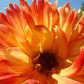 Dahlia Floral Orange Yellow Flower Botanical Art Prints Canvas Baslee Troutman by Baslee Troutman