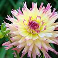 Dahlia Floral Pink Yellow Flower Garden Baslee Troutman by Baslee Troutman