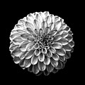 Dahlia  Flower Black And White Square by Edward Fielding