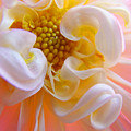 Dahlia Flower Macro Pink White Dahlias Floral Baslee Troutman by Baslee Troutman