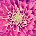 Dahlia Flower Petals Pattern Close-up by Michal Bednarek