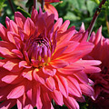 Dahlia Flowers Garden Art Prints Baslee Troutman by Baslee Troutman