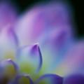 Dahlia Heaven by Mike Reid