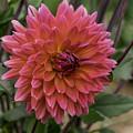 Dahlia In Bloom 19 by Joe Geraci