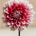 Dahlia- Pink And White by Bruce Frye
