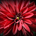 Dahlia Radiant In Red by Dora Sofia Caputo Photographic Design and Fine Art