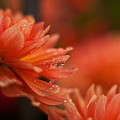 Dahlia Rainshower by Mike Reid