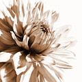 Dahlia Sepial Flower by Jennie Marie Schell