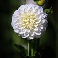 Dahlia White Flowers II by Athena Mckinzie