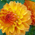 Dahlias Art Prints Orange Dahlia Flowers Baslee Troutman by Baslee Troutman