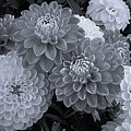 Dahlias Multi Bw by Mona Stut