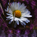 Dainty Daisy by Adria Trail