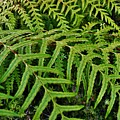 Dainty Fronds by CL Redding