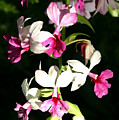 Dainty Orchids by Mary Haber