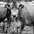 Dairy Cow On A Farm Stowe Vermont Black And White by Edward Fielding
