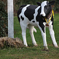 Dairy Cow Stature. by Oscar Williams