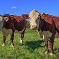 Cattle Andover New Hampshire by Edward Fielding