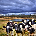 Dairy Heifer Groupies Future Chick-fil-a Starrs by Reid Callaway
