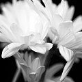 Daises In Black And White by Ayesha  Lakes