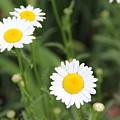 Daisies by Allen Nice-Webb