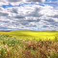 Daisies And Canola by David Patterson