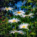 Daisies And Friends by Kendall McKernon
