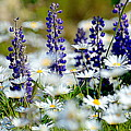 Daisies And Lupine by Sherry McKellar