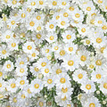 Daisies by Andrea Anderegg