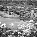 Daisies At Queens View In Greyscale by Joan-Violet Stretch