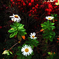 Daisies At The Boathouse by Joan  Minchak