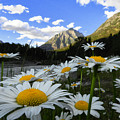Daisies By Mcdonald Creek With Mt Cannon, Glacier Park by Heavens Peak