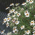 Daisies By The Bench by Sylvia Wanty