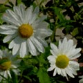 Daisies By The Number by Anita Burgermeister
