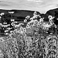 Daisies By The Roadside At Loch Linnhe B W by Joan-Violet Stretch
