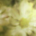 Daisies by Gray  Artus