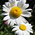 Daisies In The Sunshine by Colleen Snow