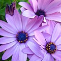 Daisies Lavender Purple Daisy Flowers Baslee Troutman by Baslee Troutman