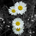 Daisies by Lisa Hebert