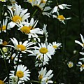 Daisies by Lizi Beard-Ward