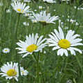 Daisies by Michael Peychich