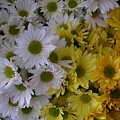 Daisies by Nancy Ferrier